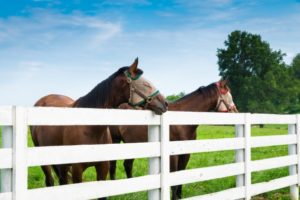 horses standing behind a white fence